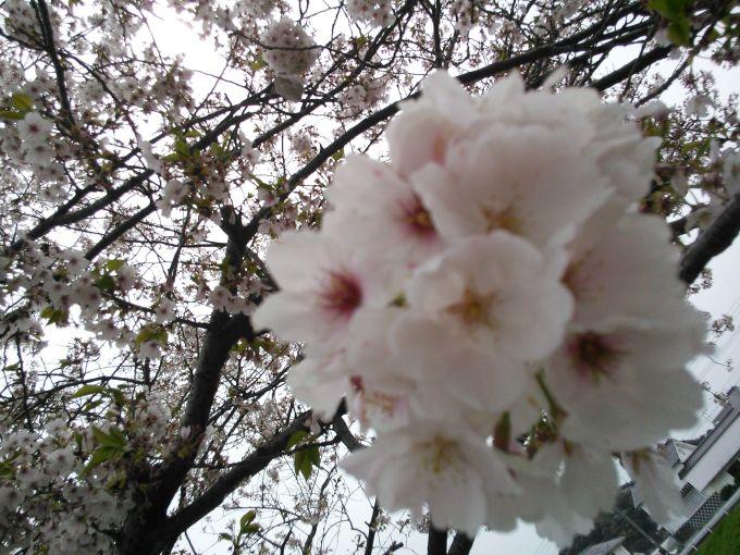 古賀市の桜の写真