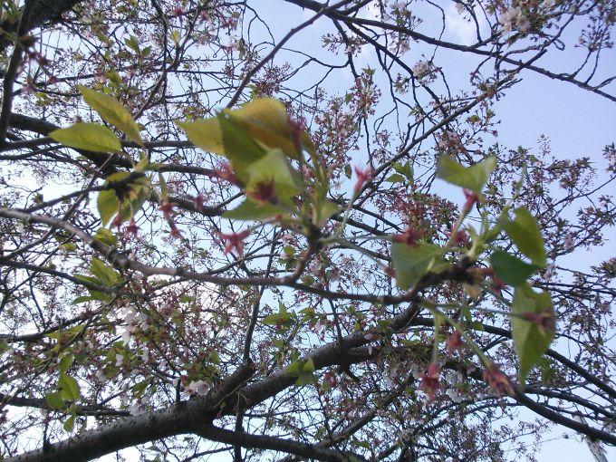 花鶴鍼灸整骨院付近の桜